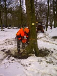 Tree felling at Madingly, Cambridge